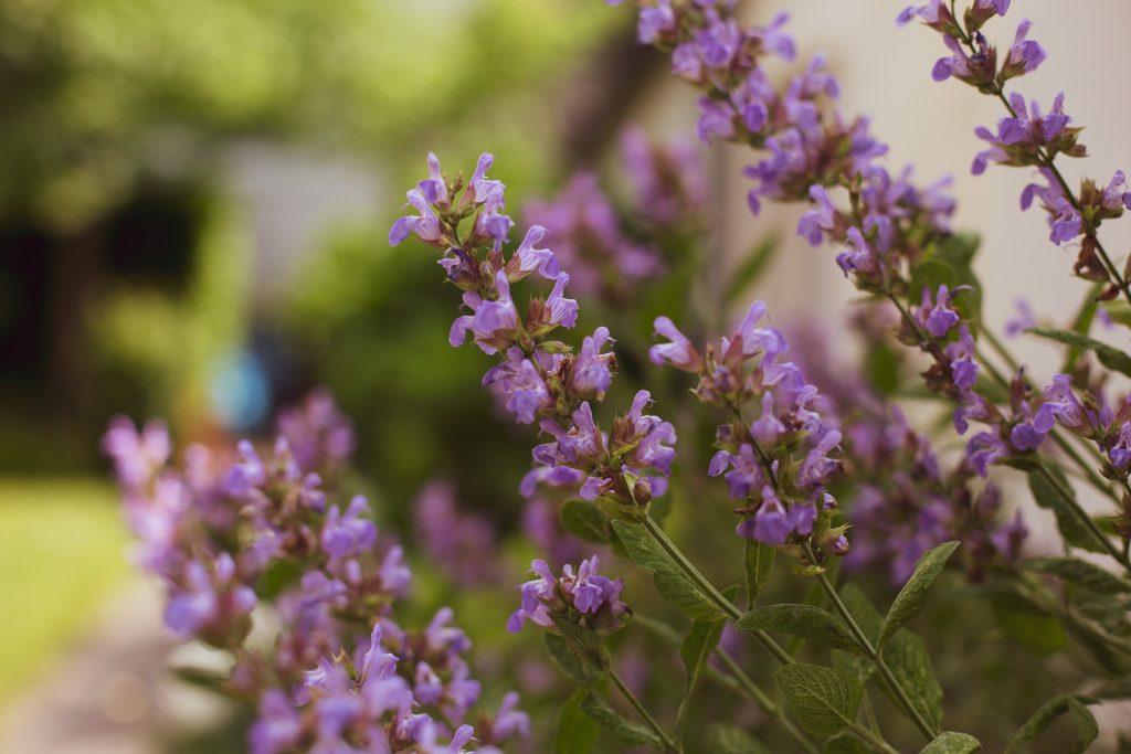 Lavendel im Biergarten